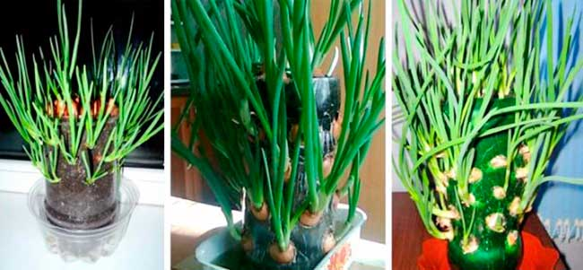 выращивание-лука-в-пластиковой-бутылке