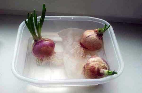 выращивание-лука-в-воде