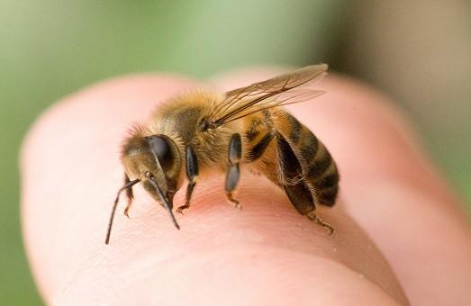 укусмла пчела или оса