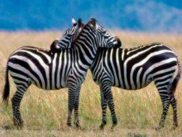 животный мир зебра
